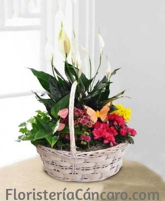 Comprar Cesta de Plantas Belice para regalo