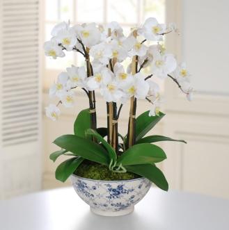 Planta Orquideas especial para regalo